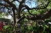 Old Oak tree, The Alamo, San Antonio TX