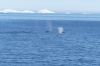 Humpback whales at entrance to Lemaire Channel, Antarctica