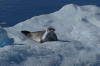 Crabeater Seal in the Lemaire Channel, Antarctica
