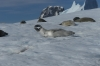 Seals take advantage of the Iceberg Graveyard in Pléneau Bay, Antarctica