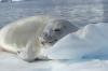 Seals take advantage of the Iceberg Graveyard in Pléneau Bay, Antarctica
