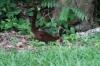 Coati (racoon family)