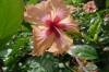 Hibiscus is the national flower of Malaysia.  Tioman Island MY