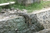 Monitor lizard slips back into the water after a feed at a local restaurant