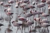 Lesser Flamingos at Walvis Bay, Namibia