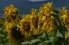 Sunflowers near Čerhov SK