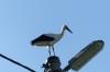 Storks in Borša SK
