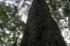 Big Tree near Tsitsikammen, South Africa