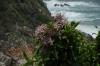 Wild Chestnut flowers. Suspension Bridge Walk, Tsitsikamma National Park, South Africa
