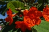 Orange flowers. Archaeological ruins of Tulum called Zama
