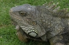 Iguana in Parque Seminario, Guayaquil EC