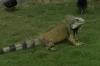 Iguanas in Parque Seminario, Guayaquil EC