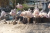 Flamingoes fighting at L'Oceanogràfic