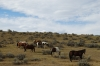 Wild ponies. Little Bighorn, Custer's Last Stand WY