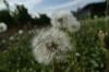 Dandelions at Crowsnest Vineyards, Cawston