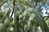 Ornamental olives at Crowsnest Vineyards, Cawston