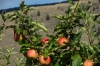 Apple orchards near Crowsnest Vineyards, Cawston