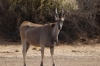 Elands at the waterhole, Kalahari Red Dunes Lodge, Namibia