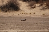 Monitor Lizard at the waterhole, Kalahari Red Dunes Lodge, Namibia