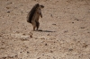 Ground squirrel, Kalahari Red Dunes Lodge, Namibia