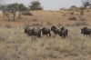 Batchelor group of Blue Widerbeest, Kalahari Red Dunes Lodge, Namibia