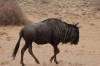 Old Man Wildebeest, Kalahari Red Dunes Lodge, Namibia