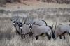 Oryx cows and calves, Kalahari Red Dunes Lodge, Namibia