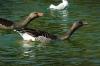 Waterbirds in Cuitadella Park, Barcelona ES