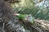 Monk Parakeets in Parc Güell
