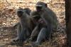 Family of Vervet Monkeys, Victoria Falls, Zimbabwe