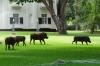 Warthogs at home at the Victoria Falls Hotel, Zimbabwe