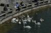 Swans feeding frenzy on the Zürichsee, Zürich CH