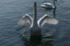 Swans showing off on the Zürichsee, Zürich CH