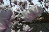 Magnolias, Chinagarten, Zürich CH